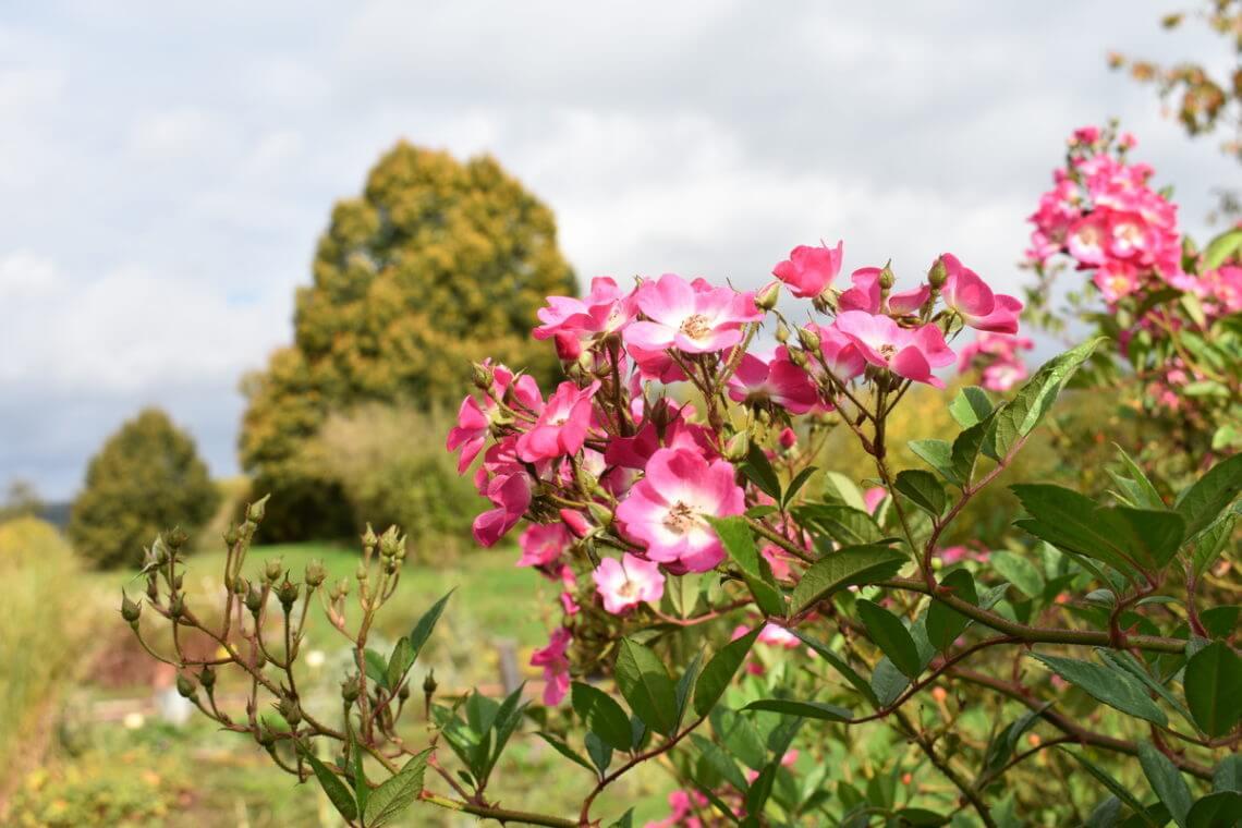 Rosen im Kräutergarten Fleckenbuehl