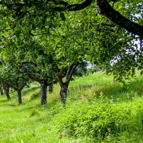 Obstbaumschnitt Hof Fleckenbuehl mit David Rempen